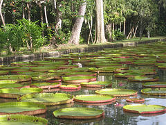 Waterlillies of Pamplemousses